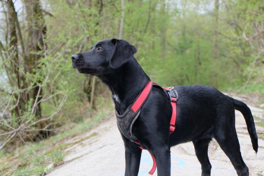 Y-Geschirr an Labrador