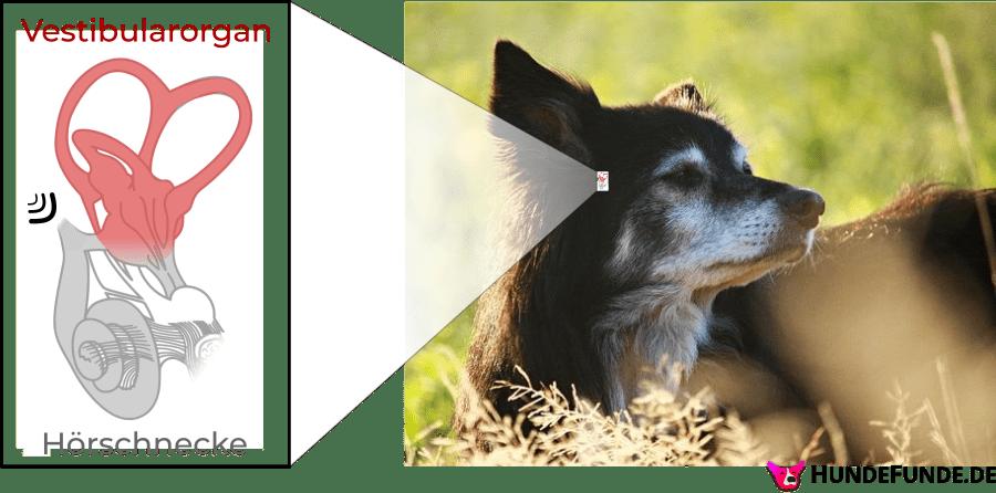 Schaubild Gleichgewichtsorgan beim Hund