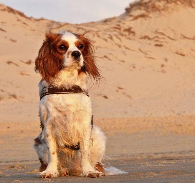 Cavalier King Charles Spaniel sitzt am Strand