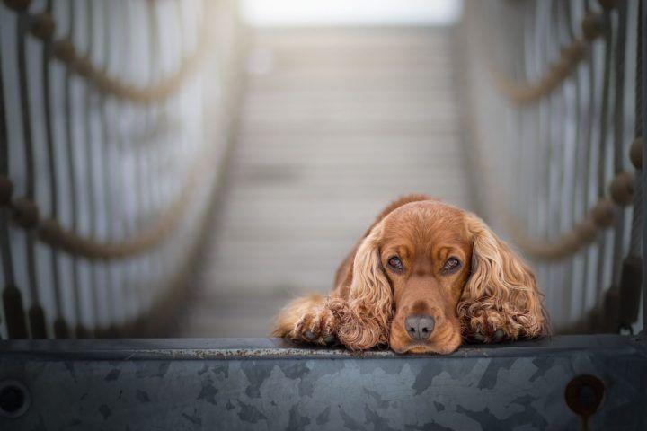 Hunde Mit Langen Ohren Hundefamilien Mit Xxl Schlappohren Hundefunde