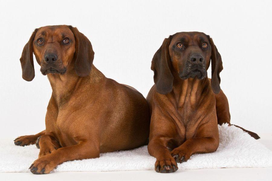 Zwei liegende Bayrische gebirgsschweißhunde