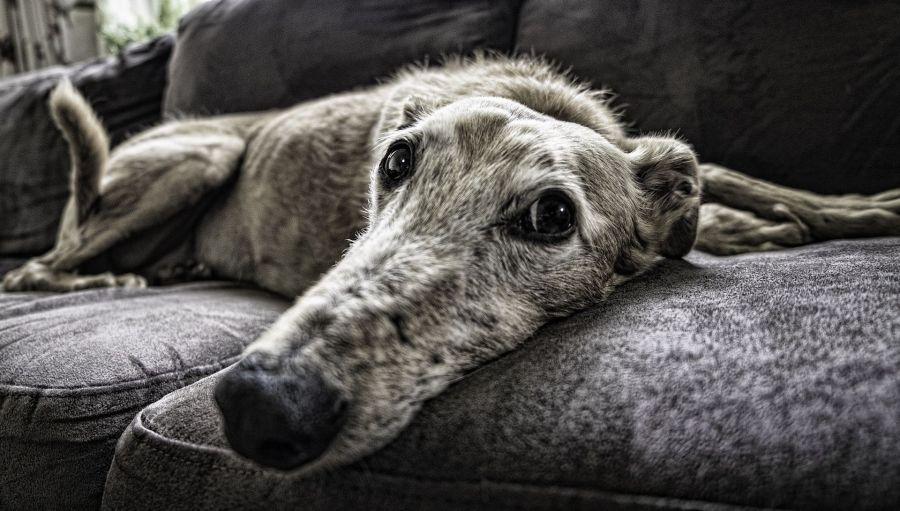 Windhund liegt auf Sofa