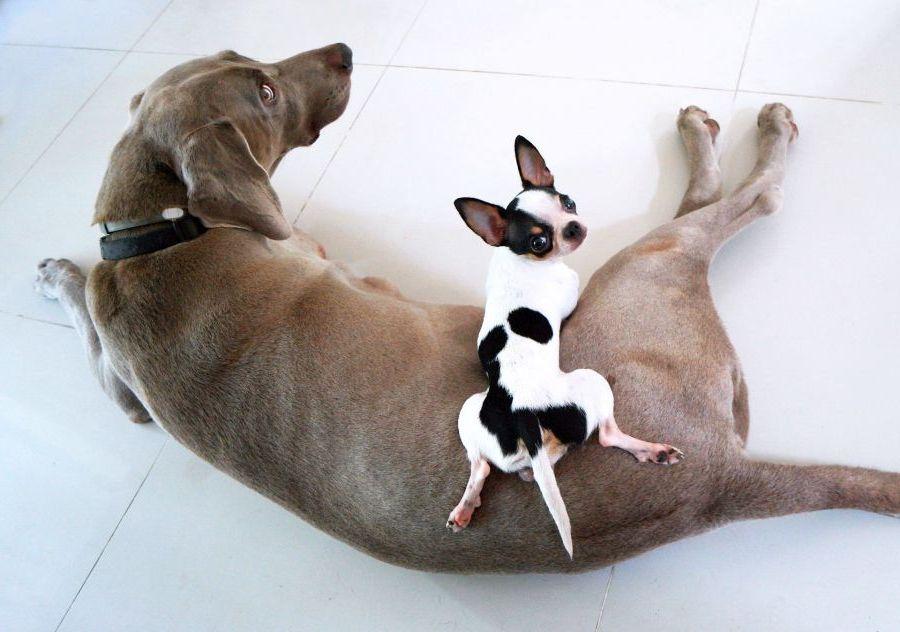 Chihuahua liegt auf Labrador