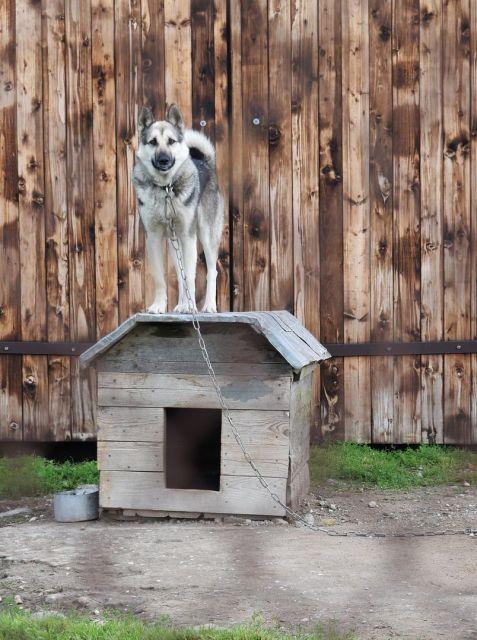 Hund an Kette auf Hundehütte