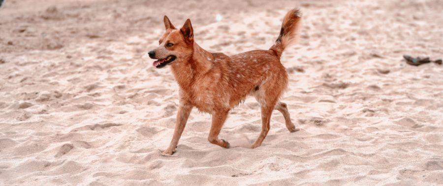 Australian Cattle Dog am Strand