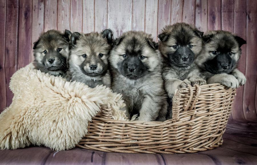 Welpen in Hundekorb