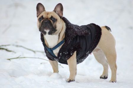 French Bulldog mit Hundemantel