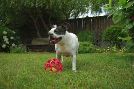 Bulldogge mit Gitterball