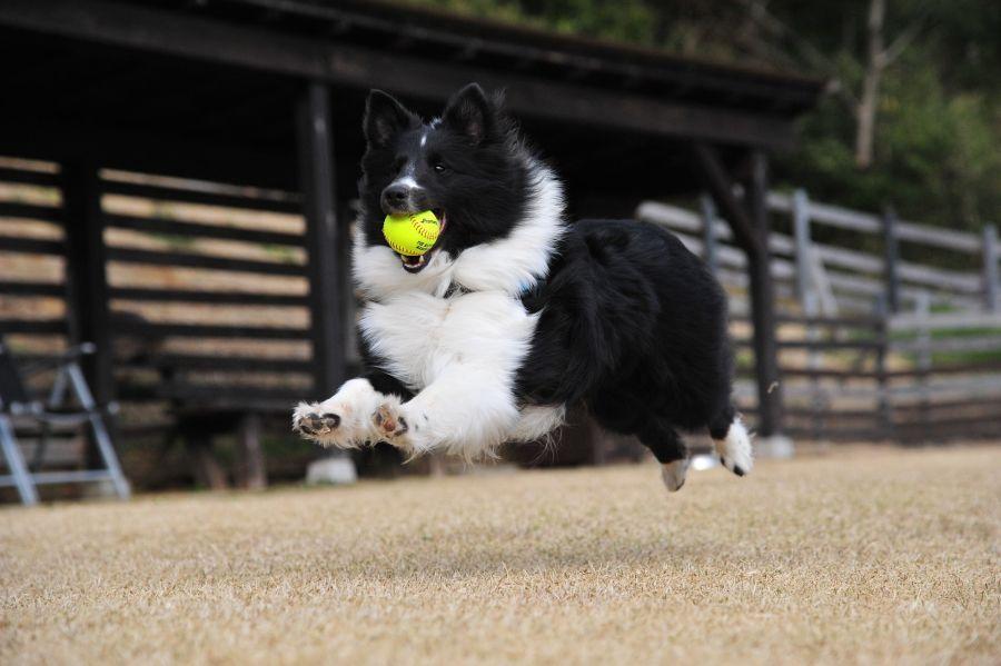 Sheltie mit Tennisball
