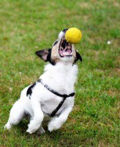 Springender Terrier im Brustgeschirr