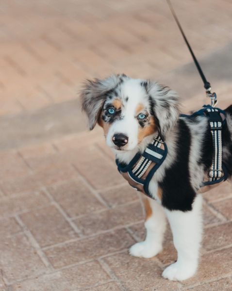 Tragehilfen für Hunde mit Brustpolster