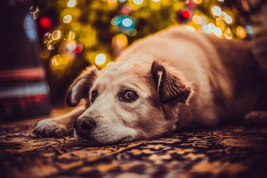 Hund wartet auf Geschenke