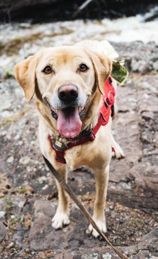 Sicherheitsgeschirr für Hunde