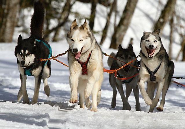 Schlittenhunde mit Zuggeschirr