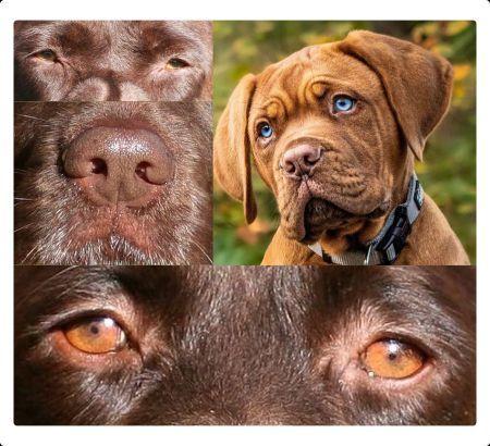 Braunes Hautpigment beim Hund