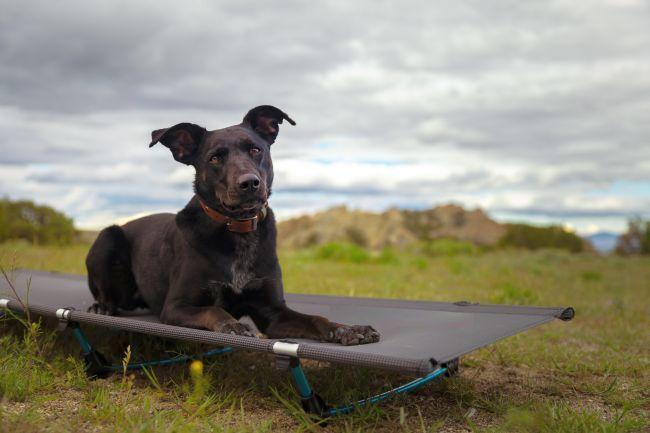 Großer Hund auf Feldbett