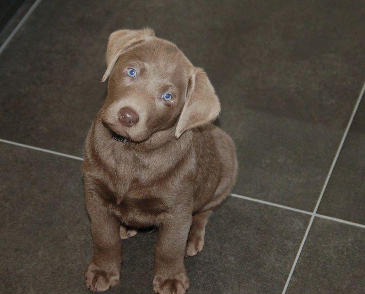 Labrador augen schwarzer blaue Labrador silber
