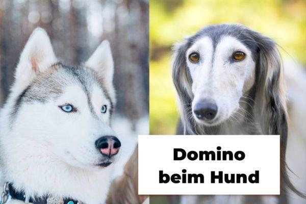 Husky und Saluki in Domino
