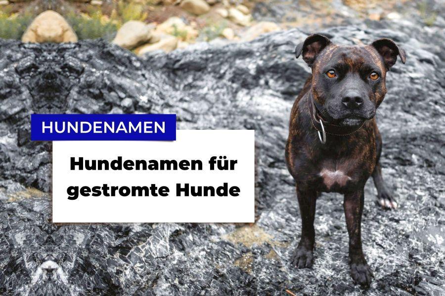 Gestromter American Staffordshire Terrier auf Felsen
