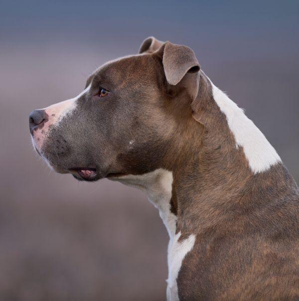 American Staffordshire Terrier blau-gestromt mit Maske